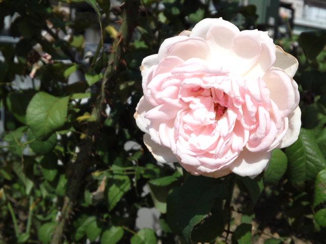 綺麗なピンクバラを撮影。