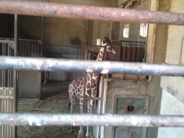 王子動物園のアミメキリン♪