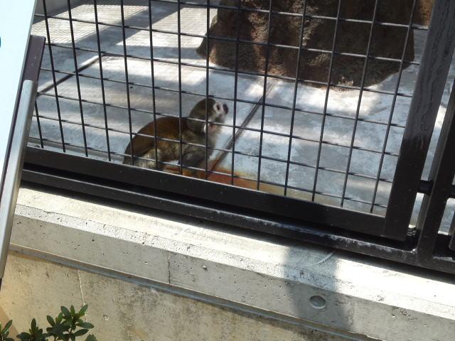 王子動物園のコモンマーモセット♪(可愛いお猿さん)