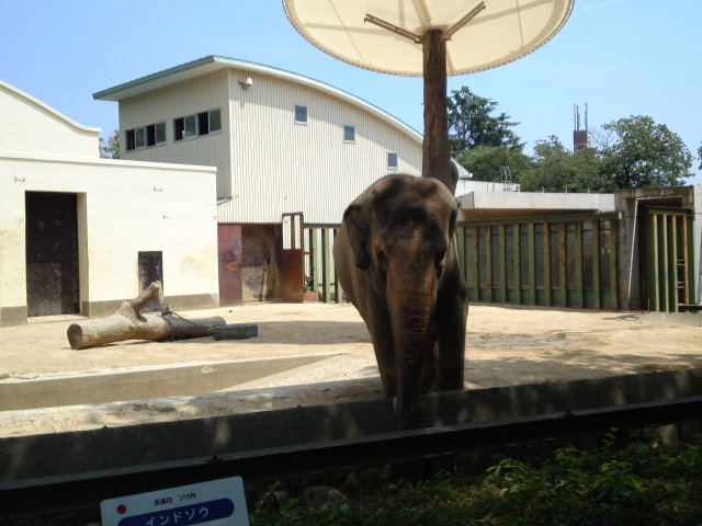 王子動物園のインドゾウです♪