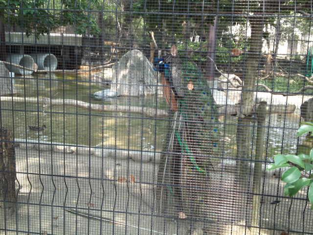 王子動物園の孔雀(クジャク)