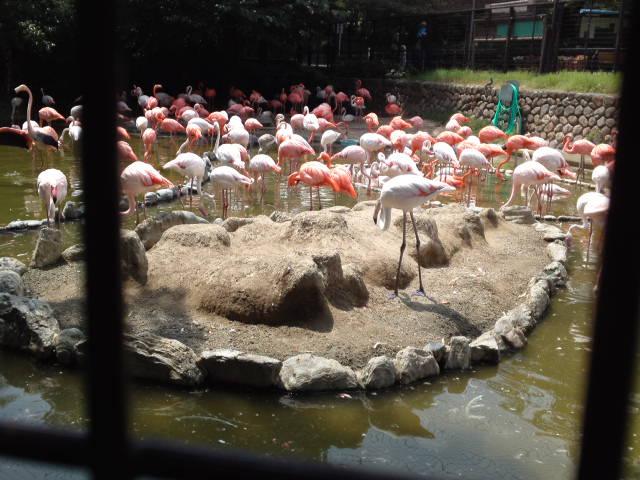 王子動物園のフラミンゴ(入園ゲートを入ってすぐのフラミンゴ池)