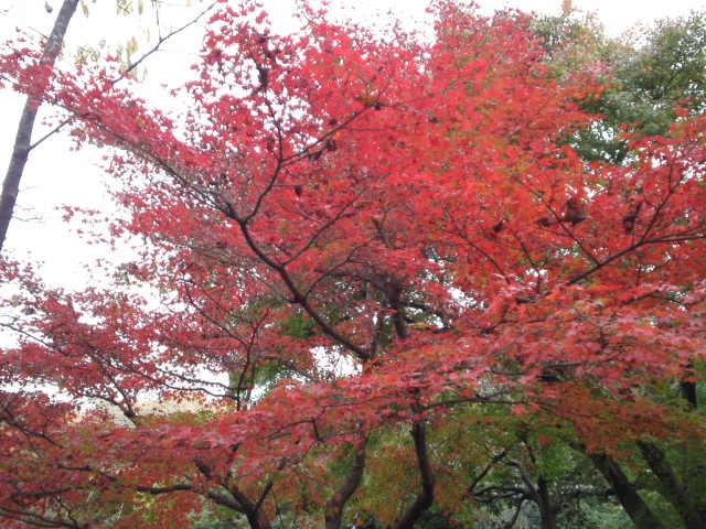 龍安寺の紅葉。
