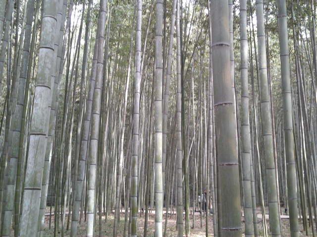 嵯峨野に広がる竹林