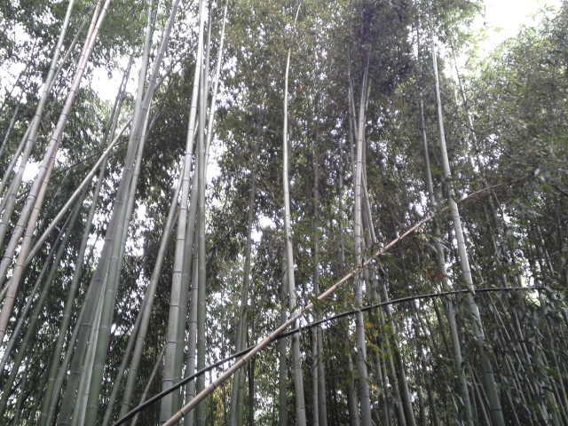 嵯峨野に広がる竹林、「竹林の道」