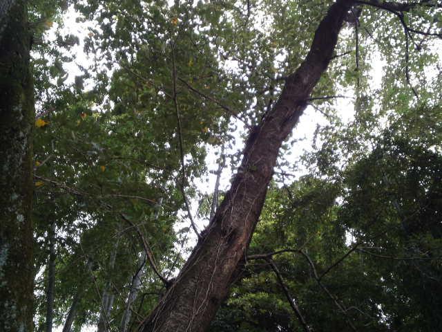 天に向かってまっすぐに伸びる木。