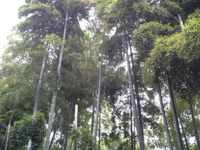 背の高い竹がたくさんです。
