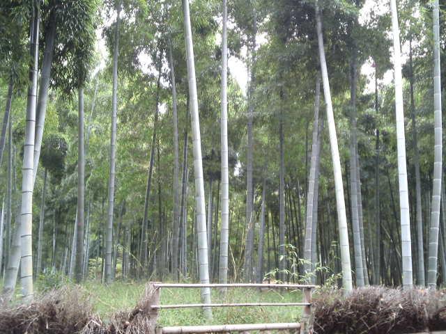 素晴らしい竹林