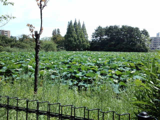 懐かしい風景。桃ヶ池公園の立派な蓮の数々!