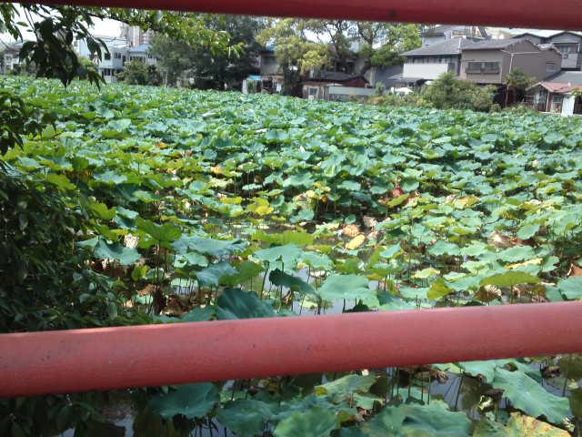 写真は桃ヶ池公園のハス